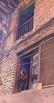 Nepali dog in window, Nepal's Day of the Dog, Kukur Tihar