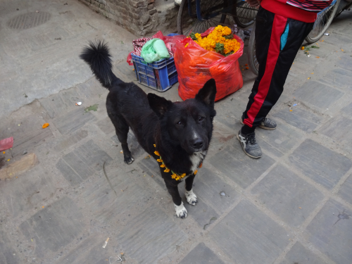 Kukur Tihar Nepal's Day of the Dog
